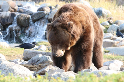 Grizzly Bear, West Yellowstone, MT